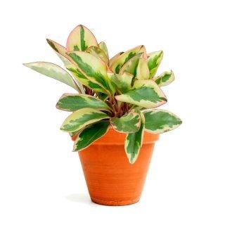peperomia_clusiifolia_ginny
