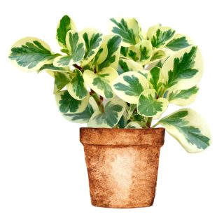 peperomia_obtusifolia_variegata