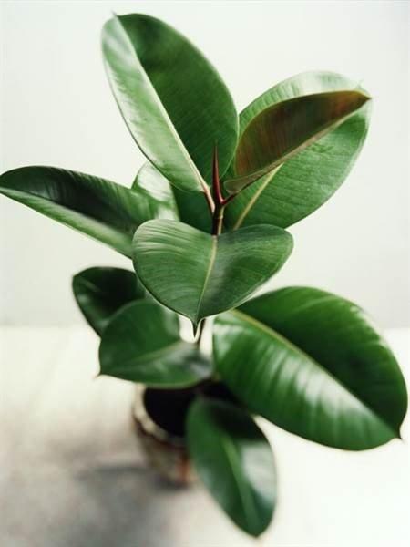 ficus plantas