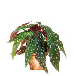 Begonia Maculata-min