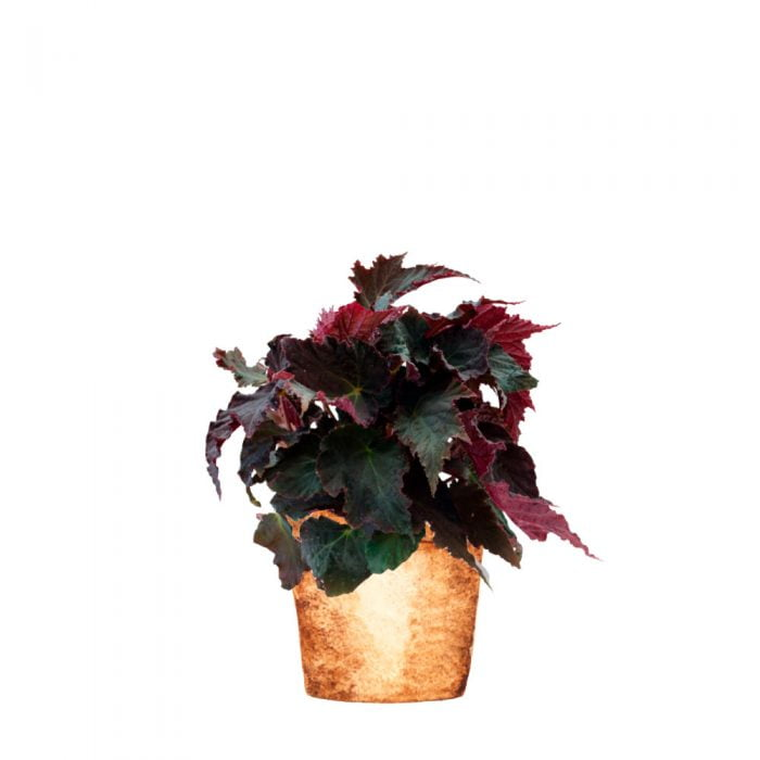 begonia royal velour