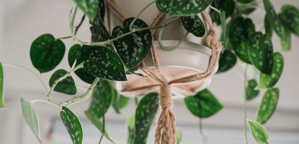 blog variagata plantas colgantes-min