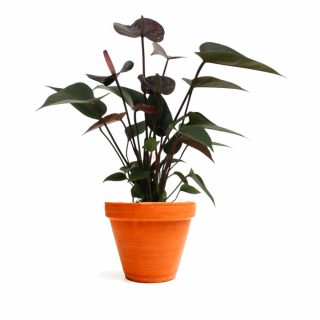 anthurium_black